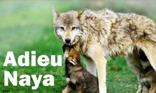 Justice pour la louve Naya et ses petits