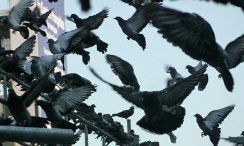 NON au MASSACRE des Pigeons à Sablé-sur-Sarthe