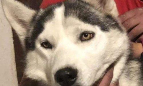 Justice pour la chienne Husky de 11 mois,  assassinée à coups de fusil de chasse par un éleveur à Saint- Senoch