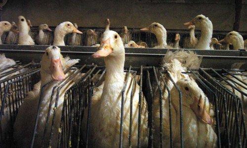 Stop à l'élevage très intensif des canards