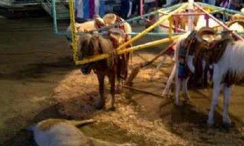 Etes-vous d'accord pour les manèges à chevaux vivants ?