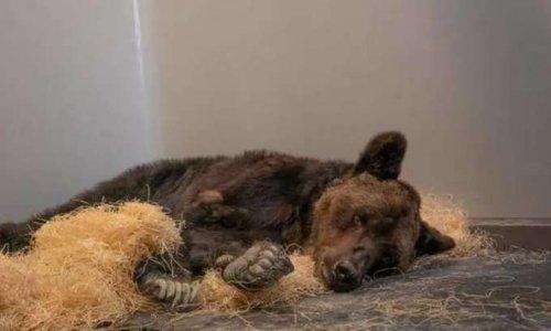 """Justice suite à la mort de L'ours Mischa et retrait immédiat des ours """"Bony"""" et """" Glasha"""""""