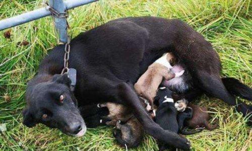Les photos de la honte : un chien allaitant ses six chiots retrouvé enchaîné à une barrière, abandonné dans le froid, sans eau ni nourriture