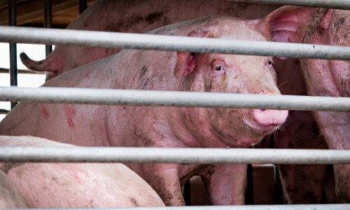 Pétition : Pour l'abandon du projet de porcherie industrielle