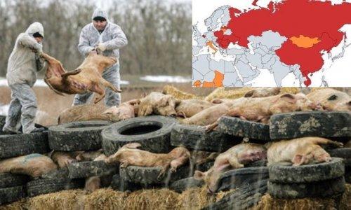 Scandale de la Peste Porcine Africaine : leurs profits passent avant votre santé