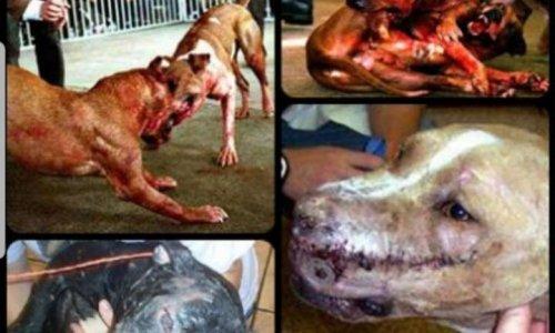 Pétition contre les combats de chiens