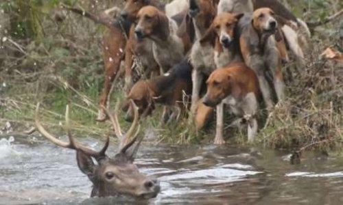 En finir avec la chasse à courre, usage d'un autre âge.