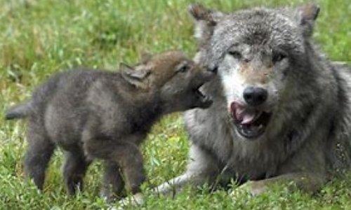 Sauvons le loup gris aperçu en Charente Maritime