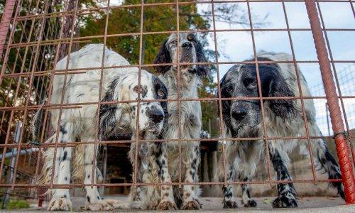 Exploitation de chiens de chasse : STOP au massacre