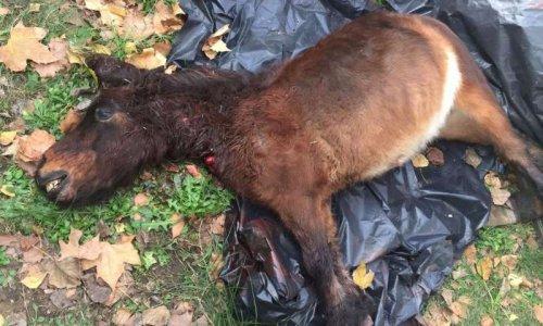 Justice pour le poney torturé et égorgé dans un camping d'Argelès-sur-Mer