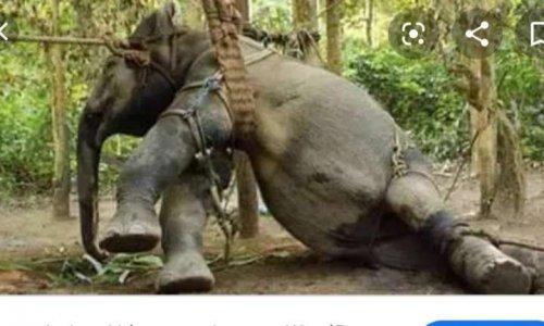 Pétition : Pétition contre la torture des éléphants esclaves en Thaïlande