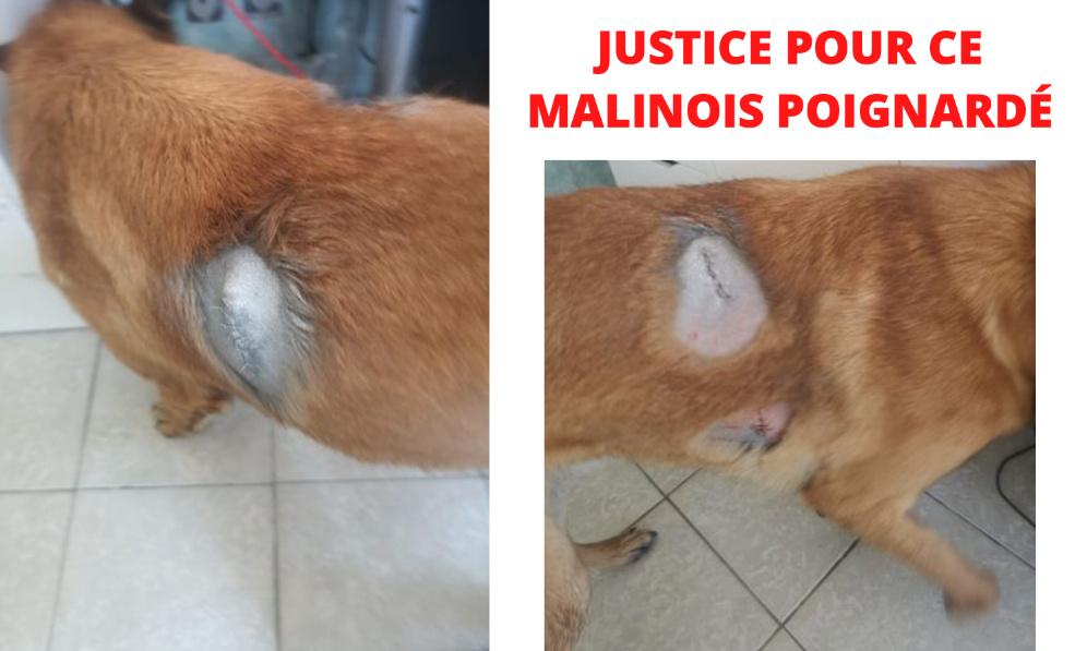 JUSTICE POUR CE MALINOIS POIGNARDÉ ET LAISSÉ POUR MORT !