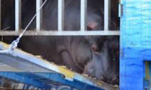 Libérez Jumbo l'hippopotame - Free Jumbo The Hippo