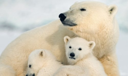 Sauvons les ours polaires