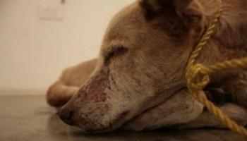 Pétition : Contre la consommation de chiens/chats en Chine !