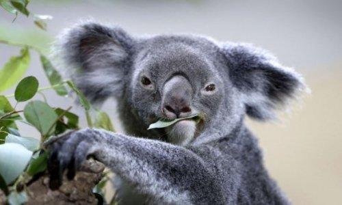 Un politicien contre un Koala !