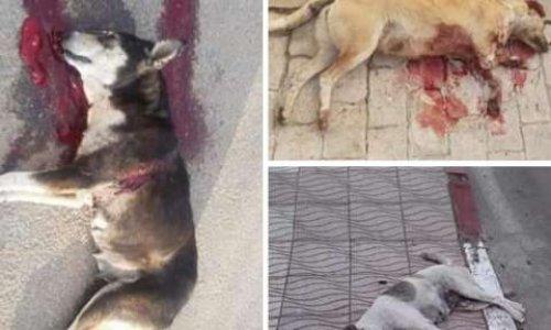 Arrêtons le massacre des chiens et chats errants au Maroc