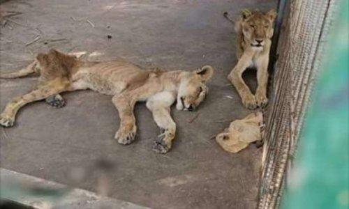 Lions en détresse - Le Soudan-