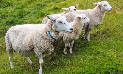 Pour pouvoir garder mes chèvres et moutons auprès de moi à Lit-et-Mixte (40)
