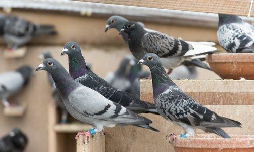 Pour un pigeonnier contraceptif à Paris Centre !