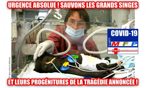 COVID-19 : URGENCE ABSOLUE ! SAUVONS LES GRANDS SINGES ET LEURS PROGÉNITURES DE LA TRAGÉDIE ANNONCÉE !