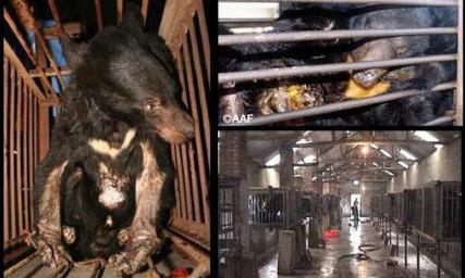 Protégez les ours en Chine : leur bile ne pourra pas éradiquer le Covid-19 !
