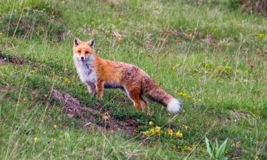 Stop à la chasse d'été du chevreuil et du renard dans le Jura