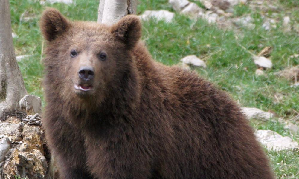 Pyrénées : Les ours ne sont pas des cobayes ! STOP aux effarouchements, fongicide vomitif, captures injustifiées et autres expérimentations irresponsables, en France comme en Espagne !