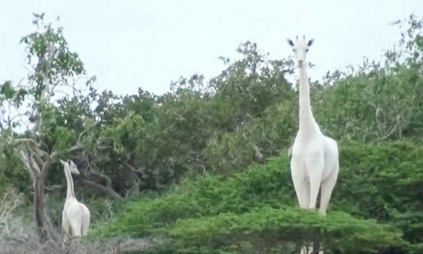Justice pour les deux girafes blanches tuées par des braconniers.