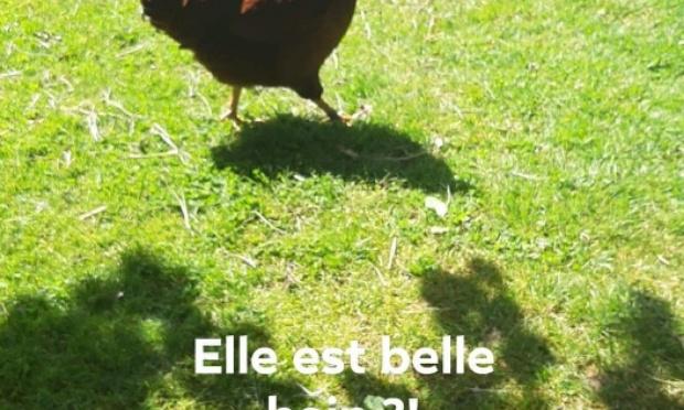 Liberté des petits poulets et poules!!!