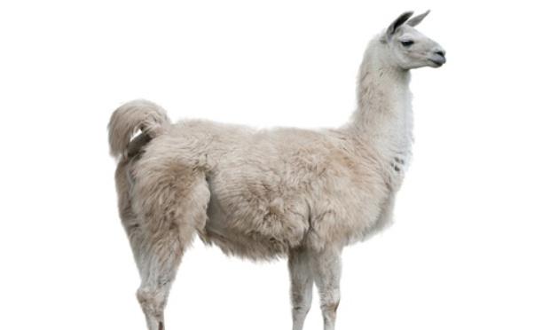 Ne tuez pas les lamas pour le remèdes du Coronavirus !