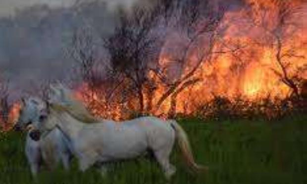 Pétition : Chevaux Camargue au service de la prévention des feux de forêt