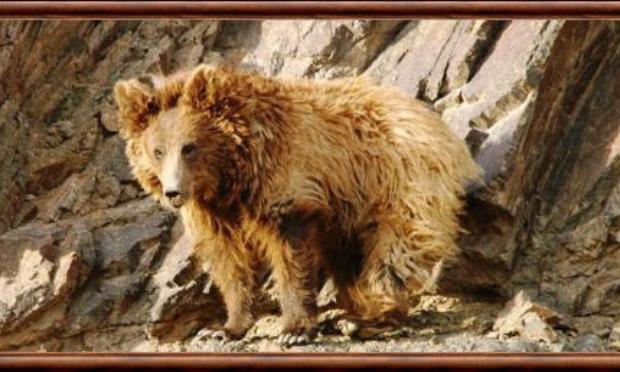 Sauvons les derniers ours de Gobi !