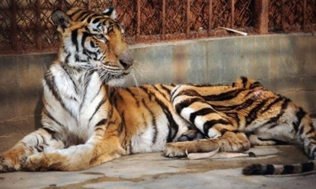 Pétition : Contre l'horrible fabrication du vin de Tigre