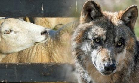 Les loups tuent nos animaux, légalisons ou donnons plus de droits pour le tir du loup