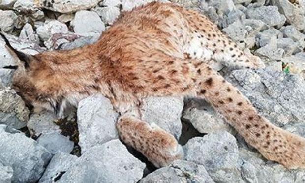 Stop au massacre des lynx dans le Jura et dans les Vosges !