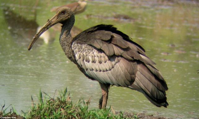 Stop à l'empoisonnement des ibis géants pour leur viande.