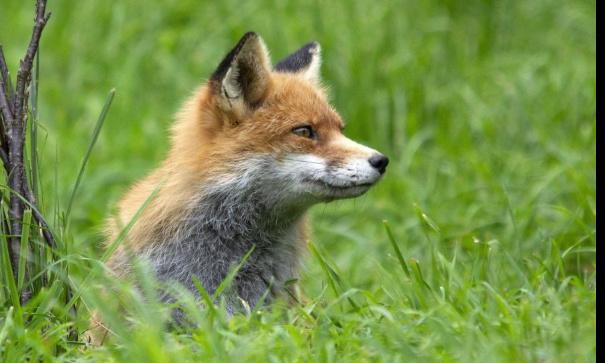 Non au massacre de 1 450 renards en Seine maritime pour régulation et par peur de virus.
