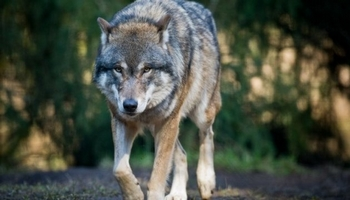 Pétition : Protection du loup en France, URGENCE!