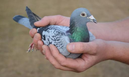 Ville de Gap, des Gapençais s'insurgent contre le gazage des pigeons !