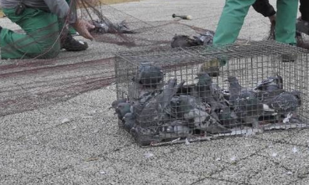 Stop à l'euthanasie des pigeons par gazage au CO2 à Brionne et mise en place de pigeonniers contraceptifs