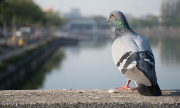 Contre la stérilisation des pigeons de Gap