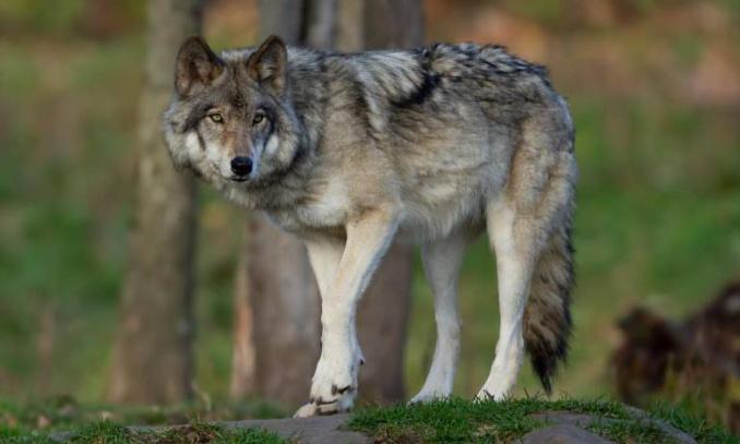 Protégeons le loup aperçu le 21/07