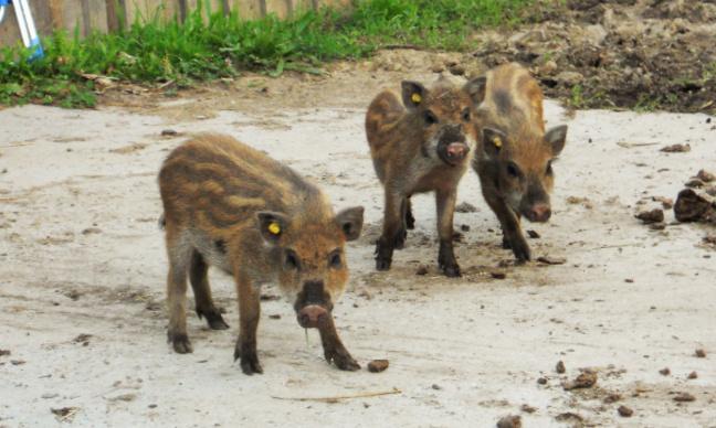 3 marcassins d'élevage lâchés pour la chasse