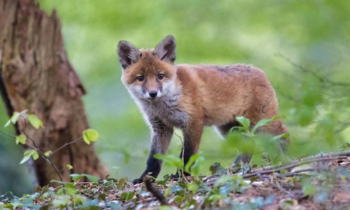 Pétition : Le lobby des chasseurs obtient l'accord d'un préfet pour détruire 1430 renards. Les chasseurs s'imposent en exterminateurs de la nature. INDIGNONS-NOUS !!!