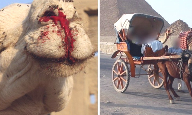 L'Egypte ou l'exploitation barbare des animaux /Egypt, primitive and savage country for animals