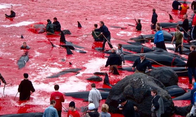 Interdire le massacre des îles Féroé