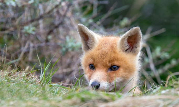 Non à l'abattage des renards de Seine-Maritime