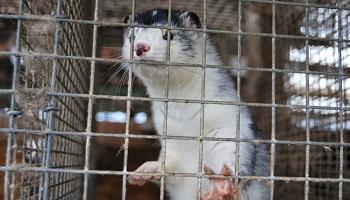 Pétition : Contre l'ouverture d'un élevage honteux de plus de 160 000 visons de femelles et leurs petits à Wervik en Belgique !