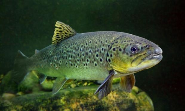 Boycott des saumons d'élevage